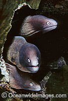 White-eyed Moray Eels Siderea thyrsoidea photo