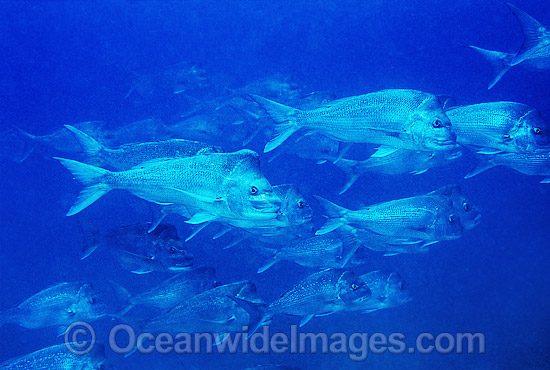 Schooling Snapper (Pagrus auratus). Solitary Islands, Coffs Harbour, New South Wales, Australia