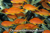 Schooling Orange Fairy Basslets Photo - Gary Bell