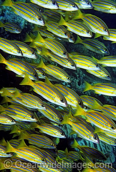 Schooling Blue-stripe Snapper photo