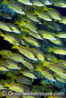 Schooling Blue-stripe Snapper Photo - Gary Bell