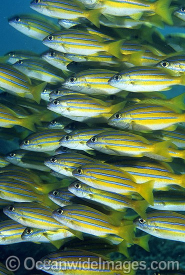 Schooling Blue-striped Snapper (Lutjanus kasmira). Great Barrier Reef, Queensland, Australia Photo - Gary Bell