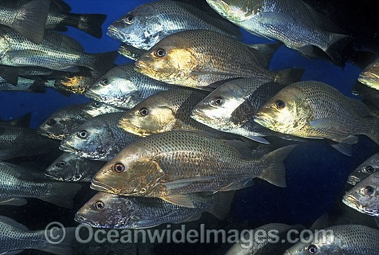 Schooling Mangrove Jack (Lutjanus argentimaculatus), also known as Sea Perch and Snapper, under the stern of the SS Yongala shipwreck situated in 35m of water off Cape Bowling Green, Townsville, Queensland, Australia. A commercially sought fish.