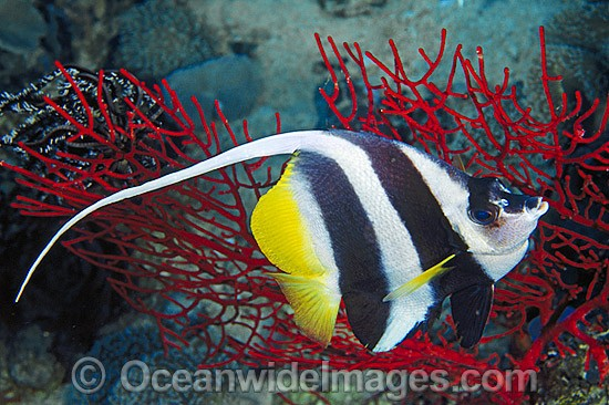 Longfin Bannerfish (Heniochus acuminatus). Also known as Reef Bannerfish. Great Barrier Reef, Queensland, Australia