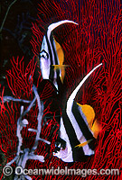 Longfin Bannerfish Heniochus acuminatus Photo - Gary Bell