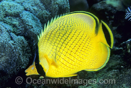 Latticed Butterflyfish (Chaetodon rafflesii). Great Barrier Reef, Queensland, Australia Photo - Gary Bell