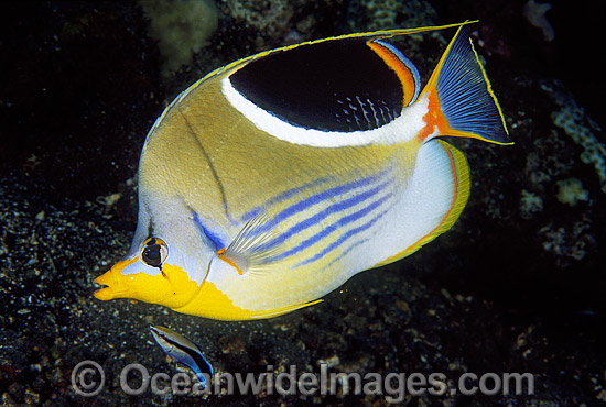 Saddled Butterflyfish (Chaetodon ephippium). Great Barrier Reef, Queensland, Australia