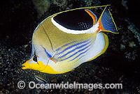 Saddled Butterflyfish Chaetodon ephippium Photo - Gary Bell