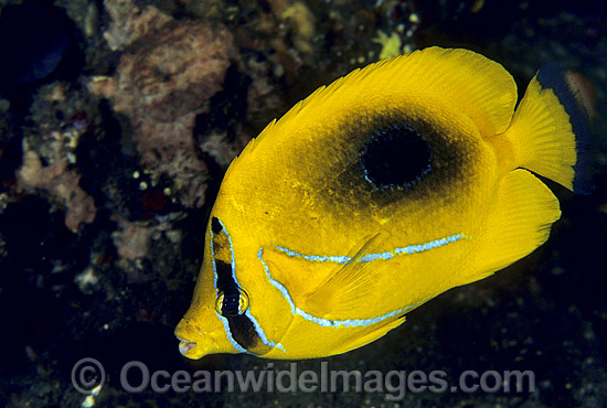 Eclipse Butterflyfish (Chaetodon bennetti). Great Barrier Reef, Queensland, Australia