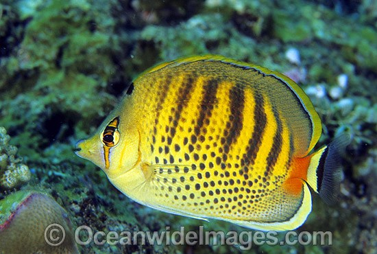 Spot-banded Butterflyfish (Chaetodon punctatofasciatus). Bali, Indonesia. Within the Coral Triangle.