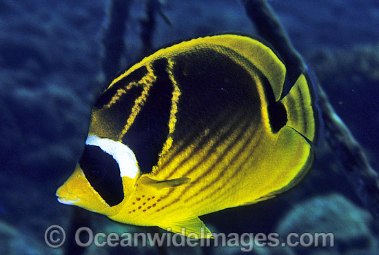 Racoon Butterflyfish (Chaetodon lunula). Great Barrier Reef, Queensland, Australia Photo - Gary Bell