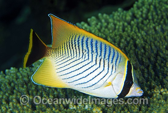 Chevroned Butterflyfish (Chaetodon trifascialis). Great Barrier Reef, Queensland, Australia