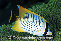 Chevroned Butterflyfish Chaetodon trifascialis photo