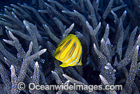 Rainford's Butterflyfish and Acropora coral photo