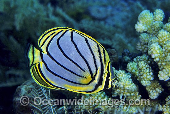 Meyer's Butterflyfish (Chaetodon meyeri). Great Barrier Reef, Queensland, Australia