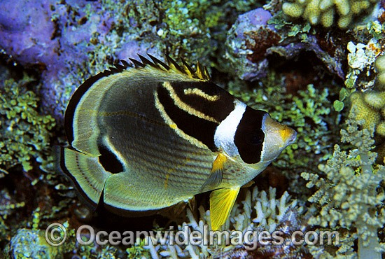 Racoon Butterflyfish (Chaetodon lunula) - during night hours. Great Barrier Reef, Queensland, Australia