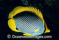 Black-back Butterflyfish Chaetodon melannotus Photo - Gary Bell