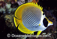 Schooling Eye-patch Butterflyfish Photo - Gary Bell