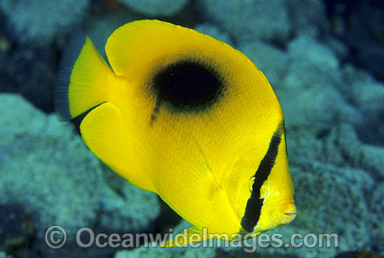 Oval-spot Butterflyfish (Chaetodon speculum). Great Barrier Reef, Queensland, Australia