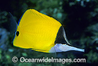 Long-nose Butterflyfish Forcipiger flavissimus photo