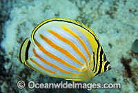 Ornate Butterflyfish Chaetodon ornatus Photo - Gary Bell