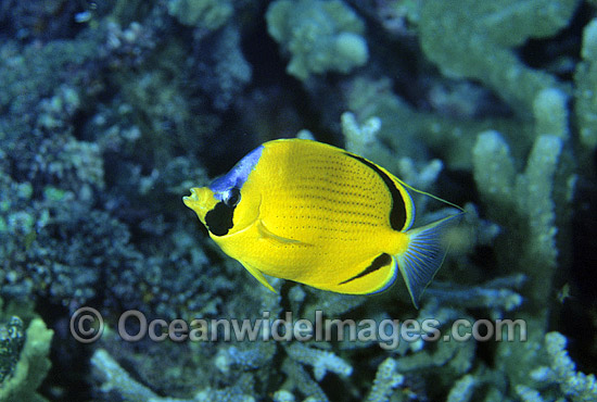 Dotted Butterflyfish (Chaetodon semeion). Bali, Indonesia