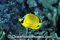 Dotted Butterflyfish Chaetodon semeion photo