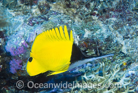 Very-long-nose Butterflyfish (Forcipiger longirostris). Also known as Big Longnose Butterflyfish. Found throughout Indo-West to Central Pacific, including the Great Barrier Reef, Queensland, Australia.