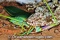 Leaf-tailed Gecko feeding on a captured Grasshopper photo