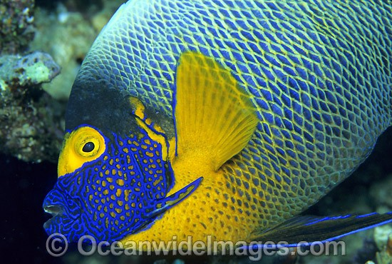 Yellowmask Angelfish (Pomacanthus xanthometopon). Great Barrier Reef, Queensland, Australia