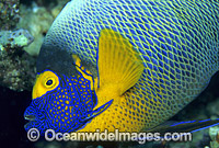 Yellowmask Angelfish Photo - Gary Bell