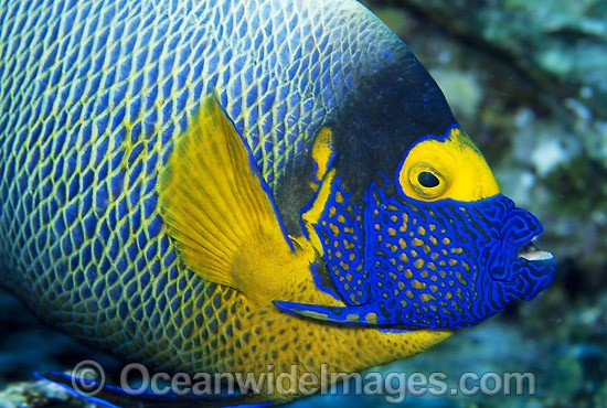 Yellowmask Angelfish (Pomacanthus xanthometopon). Great Barrier Reef, Queensland, Australia Photo - Gary Bell