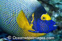 Yellowmask Angelfish Pomacanthus xanthometopon Photo - Gary Bell