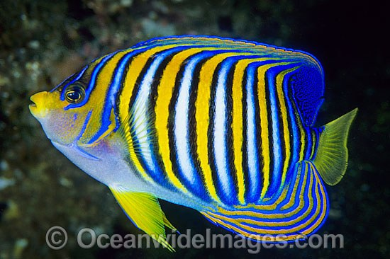 Regal Angelfish Pygoplites diacanthus photo