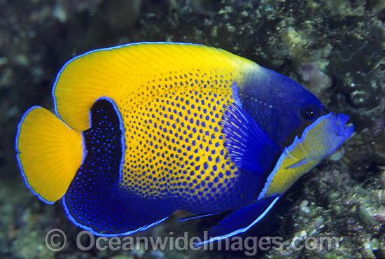 Blue-girdled Angelfish (Pomacanthus navarchus). Also known as Majestic Angelfish. Great Barrier Reef, Queensland, Australia