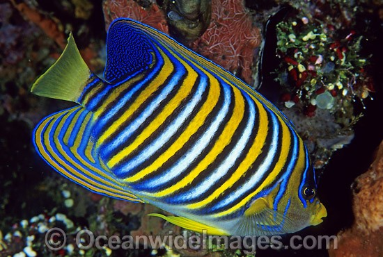 Regal Angelfish (Pygoplites diacanthus). Great Barrier Reef, Queensland, Australia Photo - Gary Bell