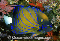 Blue-ringed Angelfish Pomacanthus annularis Photo - Gary Bell