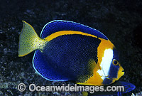 Scribbled Angelfish Chaetodontoplus duboulayi Photo - Gary Bell