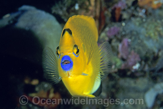 Three-spot Angelfish photo