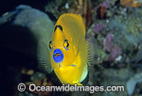 Three-spot Angelfish Photo - Gary Bell