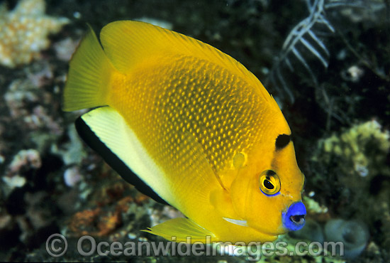 Three-spot Angelfish (Apolemichthys trimaculatus). Great Barrier Reef, Queensland, Australia