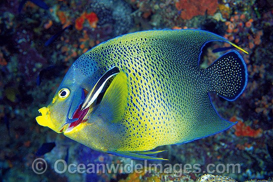Blue-streak Cleaner Wrasse (Labroides dimidiatus) cleaning the gills of a Blue Angelfish (Pomacanthus semicirculatus) - also known as Semicircle Angelfish. Great Barrier Reef, Queensland, Australia Photo - Gary Bell