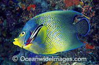 Cleaner Wrasse cleaning Blue Angelfish Photo - Gary Bell