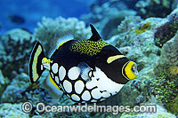 Clown Triggerfish Balistes conspicillum Photo - Gary Bell