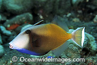 Half-moon Triggerfish Sufflamen chrysopterum Photo - Gary Bell