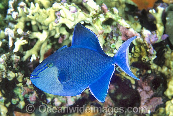 Blue Triggerfish (Odonus niger). Also known as Red-tooth Triggerfish. Great Barrier Reef, Queensland, Australia Photo - Gary Bell