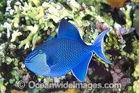 Blue Triggerfish Odonus niger Photo - Gary Bell