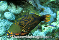 Orange-lined Triggerfish Balistapus undulatus Photo - Gary Bell