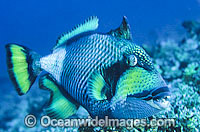 Titan Triggerfish Balistoides viridescens Photo - Gary Bell