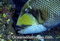 Titan Triggerfish aerating egg cluster Photo - Gary Bell